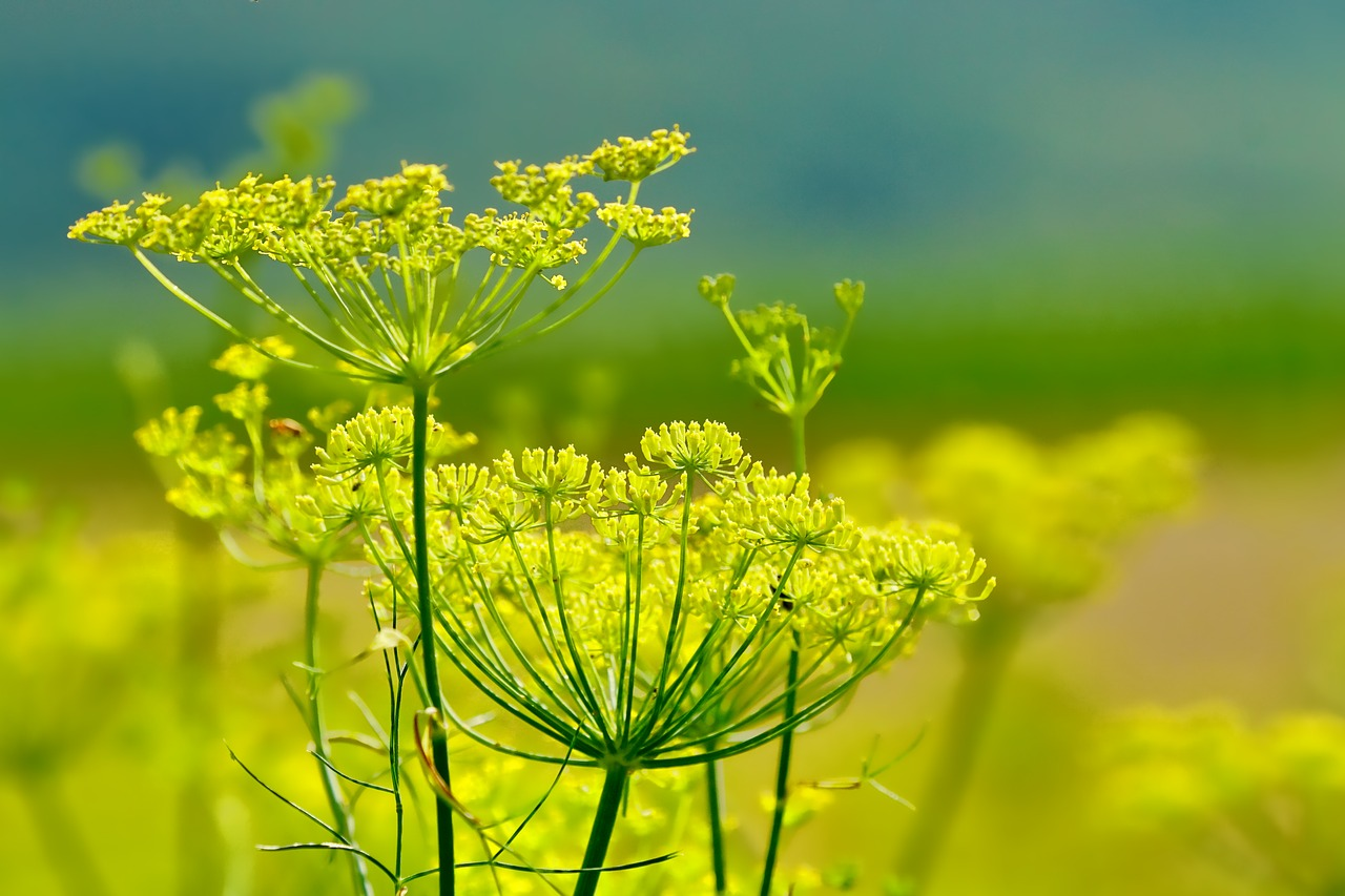 Fennel Blooms in Field
