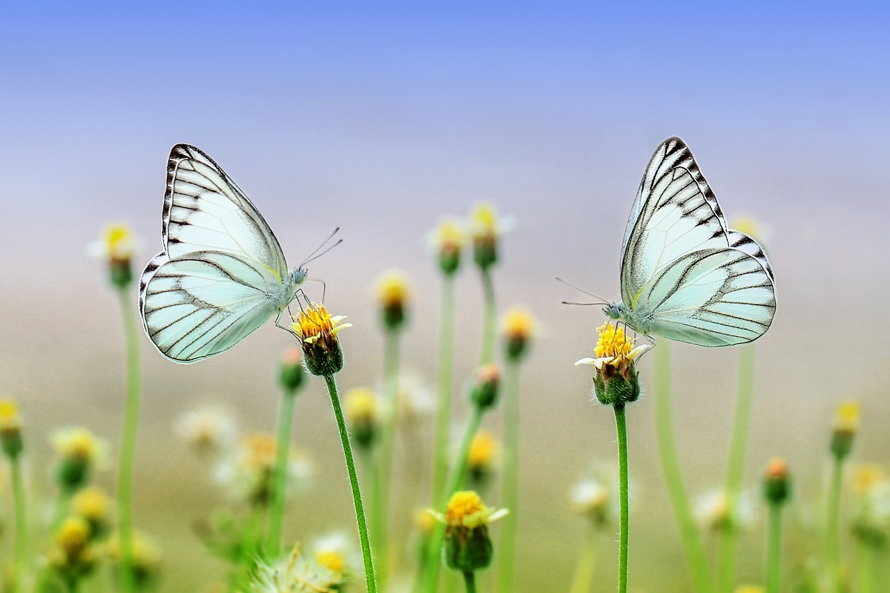 two butterflies on a flower