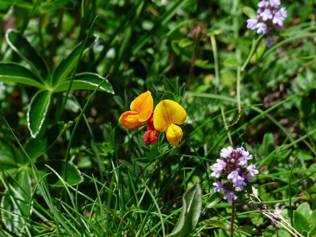 Alpenhorn Clover Flower