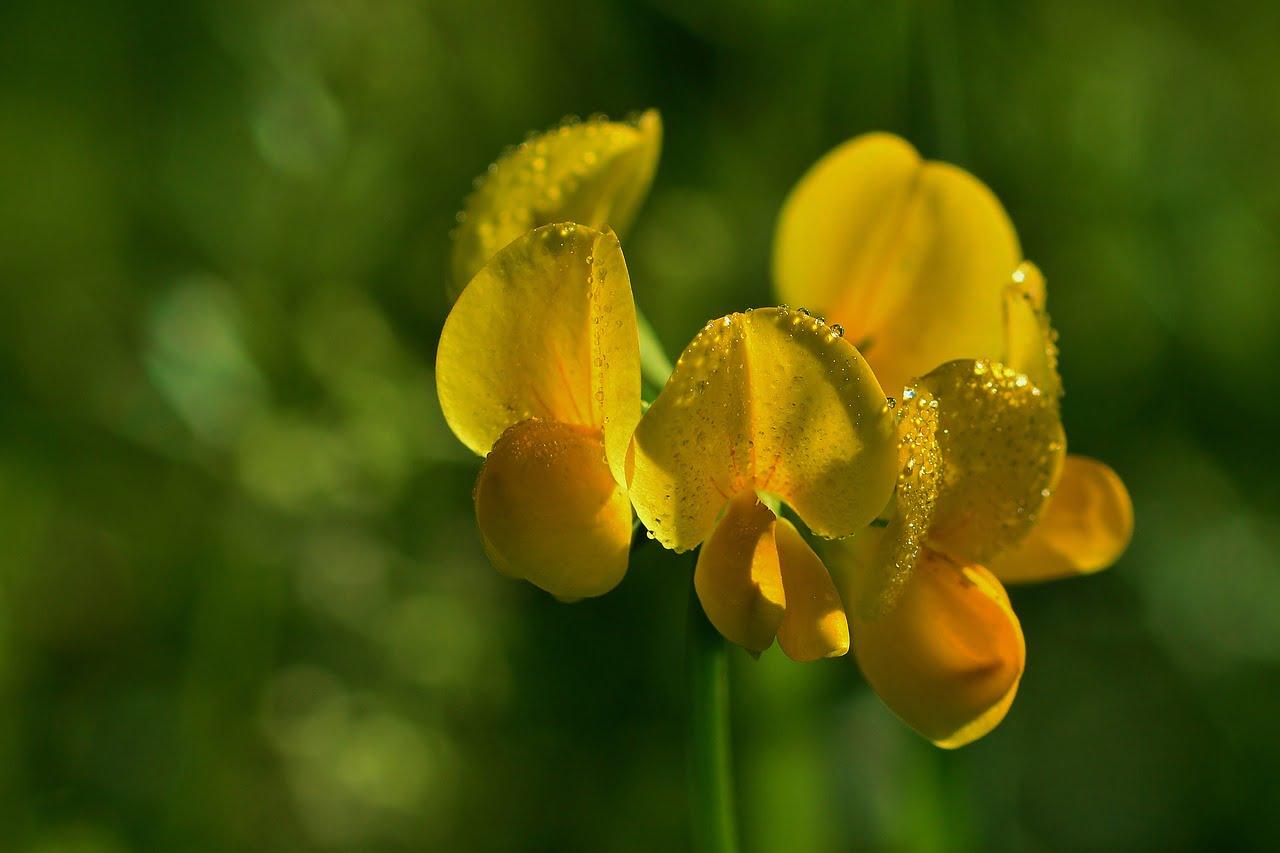 fenugreek flower close-up