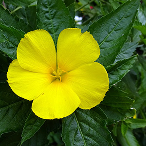 Damiana Leaf Ingredient