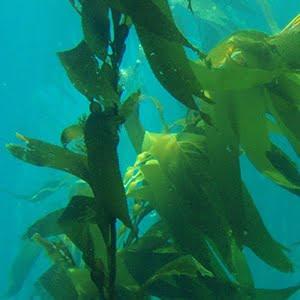 BreastActives Formula Includes Kelp